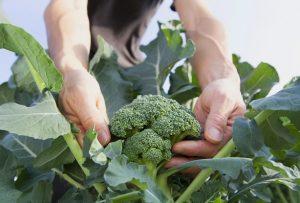 cultivar brócoli